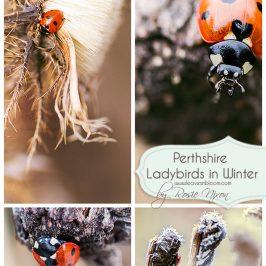 7 spot Ladybird in Winter