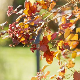 this is an image of physocarpus autumn foliage - use back light
