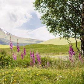 Scottish wild flowers at Loch Tulla, A 82 road
