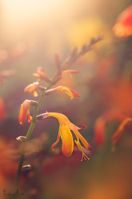 this is an image of Crocosmia at sunset for designing with perennials