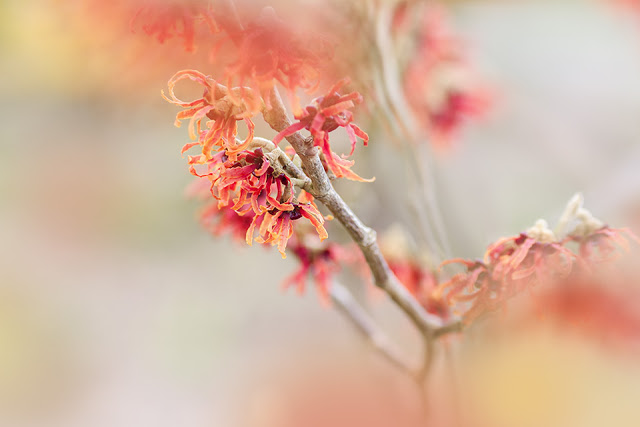this is an image of Hamamelis × intermedia 'Diane' - red flowers in bloom in January