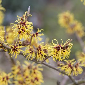 Winter Flowering Witch Hazel