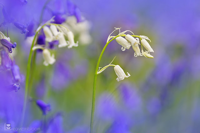 this is an image of rare white bluebells