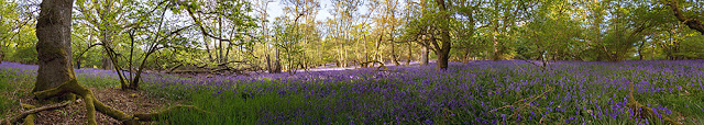 this is a panoramic image of my local bluebell woods