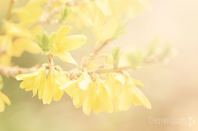 lensbaby blur - forsythia yellow spring flowers