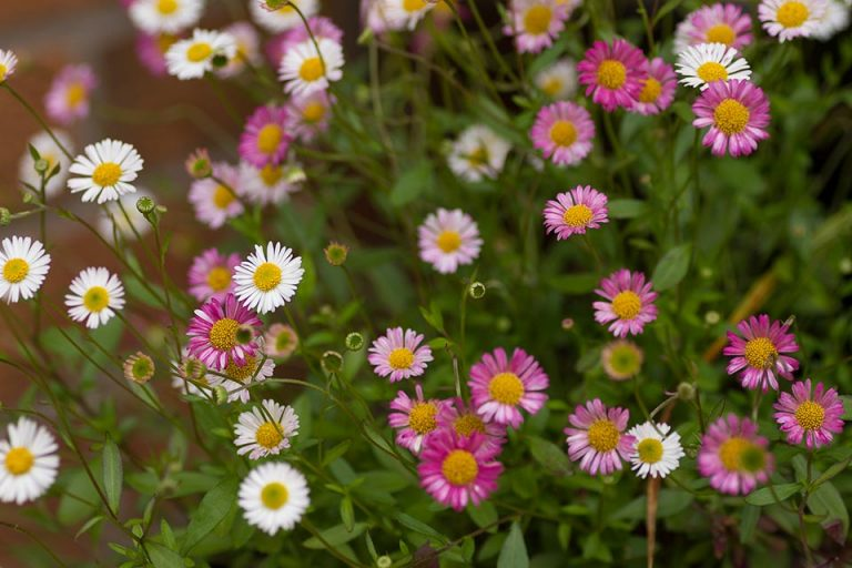Erigeron karvinskianus also known as stallone daisy