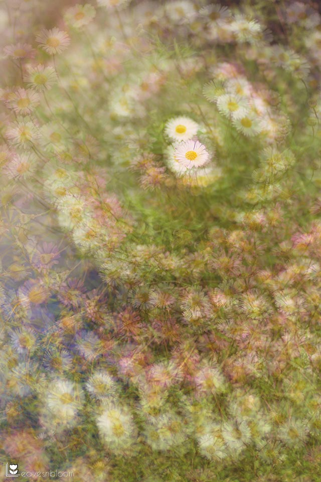 this is a multiple exposure montage of Erigeron karvinskianus daisies