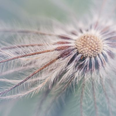 Pasque flower seedhead Pusaltilla alba