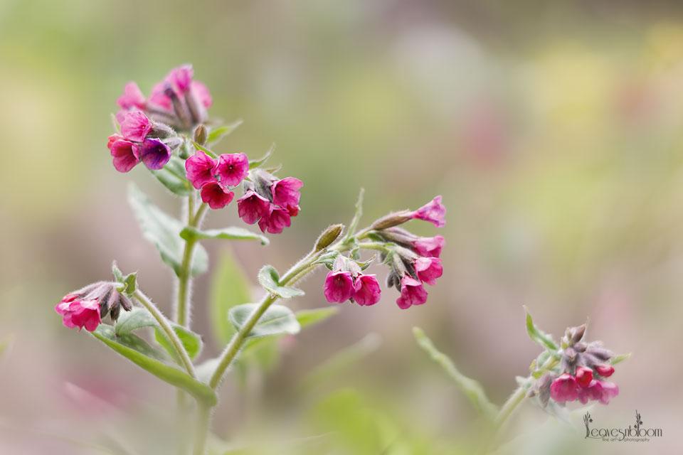 pink pulmonaria raspberry splash flowers