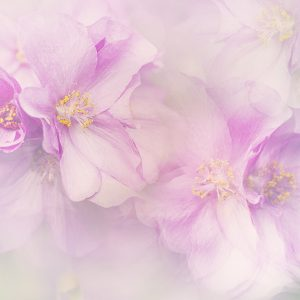 Pink Abutilon flowers