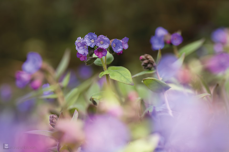 where to grow pulmonaria flowers in spring