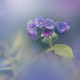 blue spring growing pulmonaria flowers