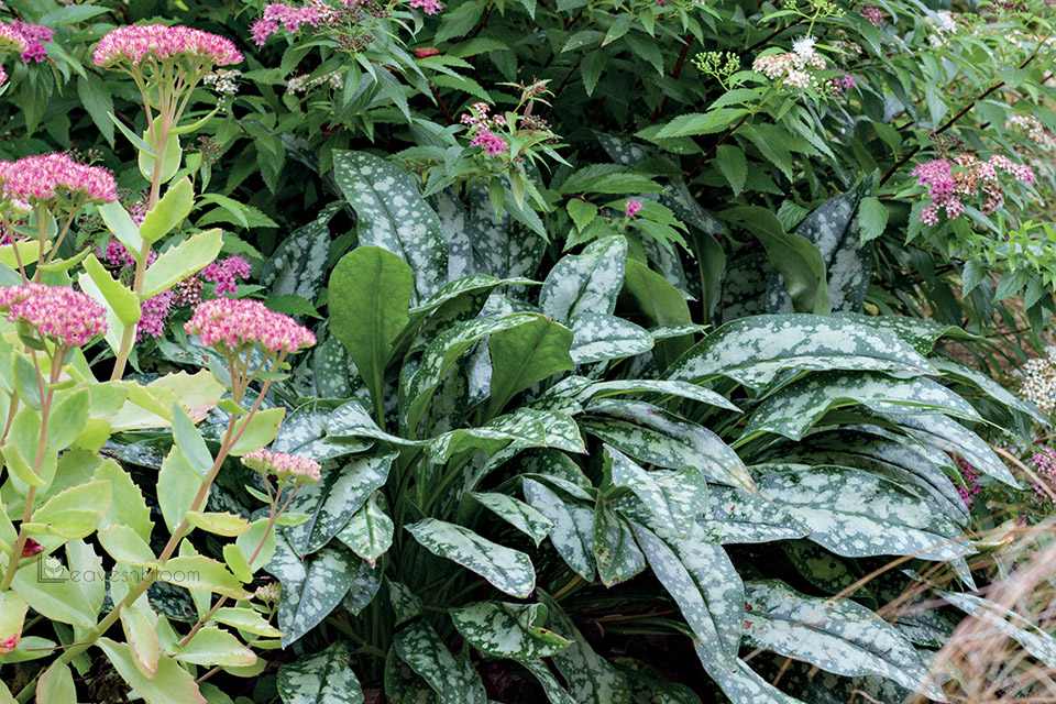 white spotted pulmonaria leaves