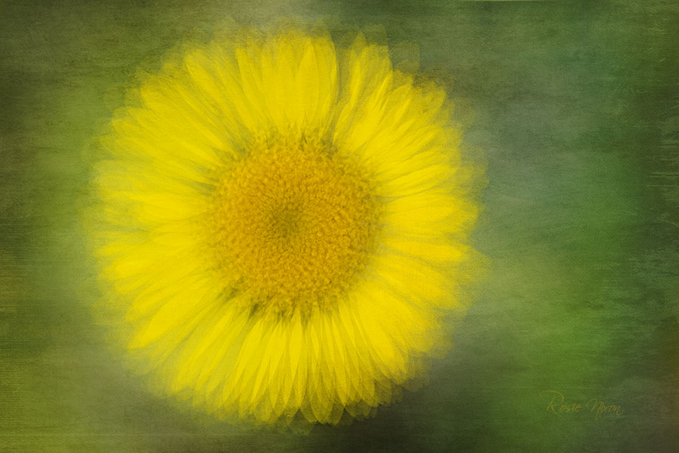 a single yellow daisy flower taken using the pep ventosa photography technique