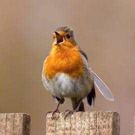 photographing garden birds - robin