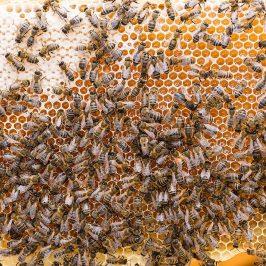 bee happy dark bees ayr beekeepers
