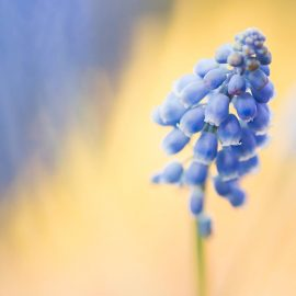 blue muscari bulb flower - get your garden ready for spring