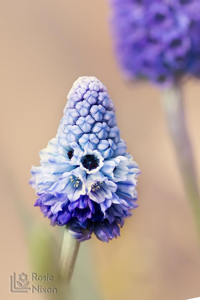 Muscari azureum spring bulbs