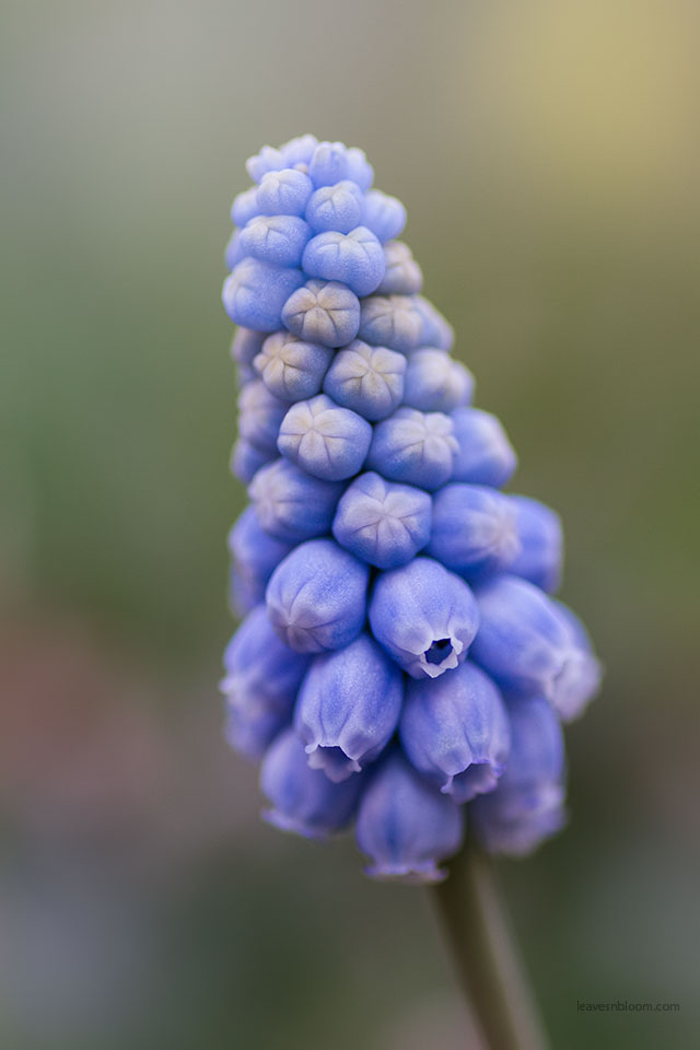 Get your garden ready for spring by planting blue muscari bulbs
