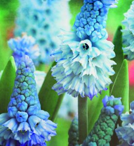 pale blue flowers of Muscari azureum