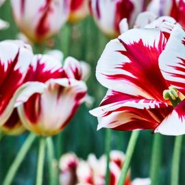 growing perennial tulips
