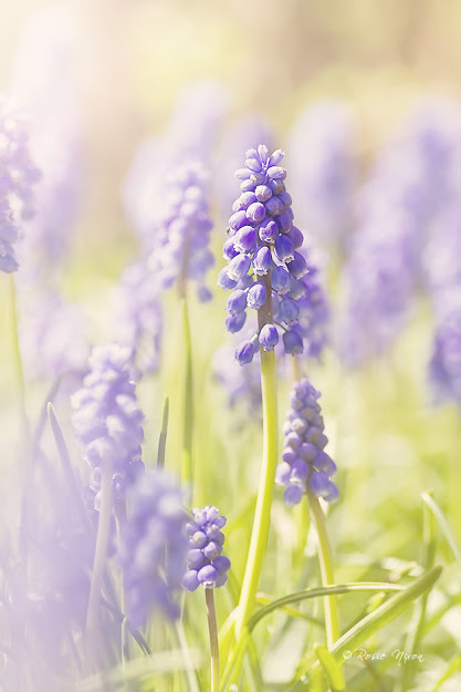 blue grape hyacinth flowers - get your garden ready for spring