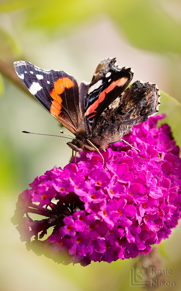 red admiral butterfly tasting nectar with its feet on a purple flower